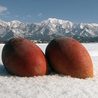 南魚沼の雪深いところで作られた雪国温泉マンゴー