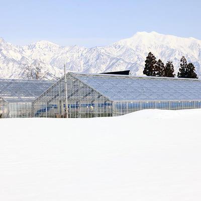 魚沼地域は豪雪地帯として知られていますが、ビニールハウスは温泉熱を利用して温かい環境を維持しています。