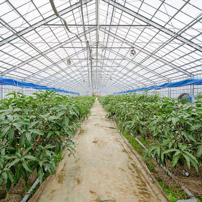 ビニールハウス内は温かい環境でマンゴー栽培に適した状態を維持しています。